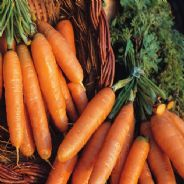 Carrot Amsterdam forcing - Appx 6000 seeds